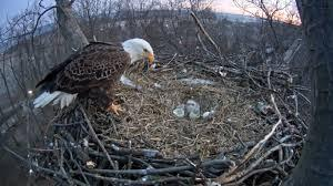 Announcement Image for Eaglets are hatching!